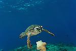 Hawksbill turtle (Eretmochelys imbricata) feeds on sponge