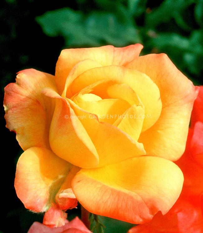 Rosa Aztec Gold' yellow rose with reddish tips, Grandiflora roses