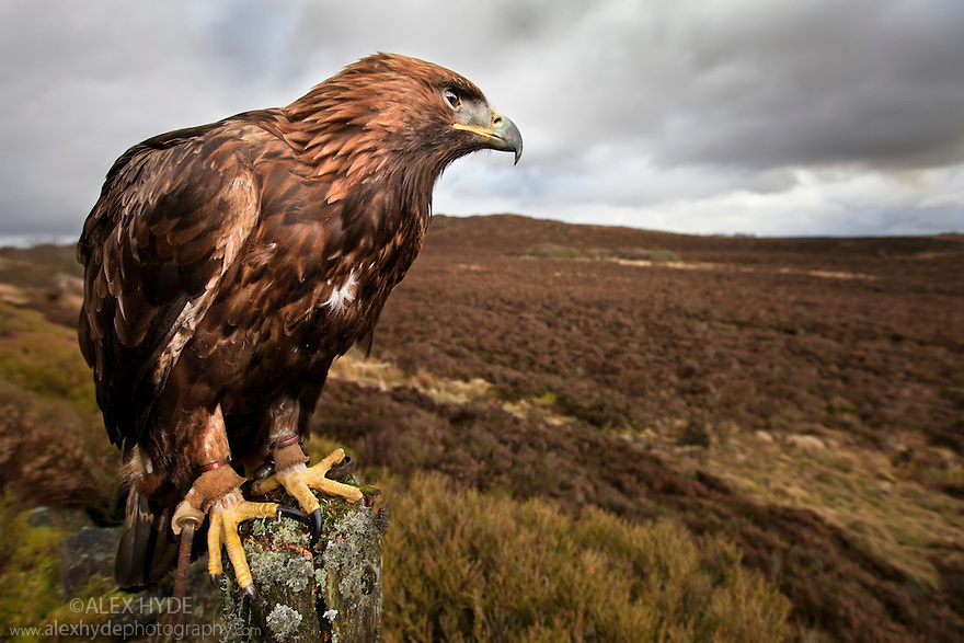 Golden Eagle {Aquila chrysaetos} male looking out over moorland. Captive bird, UK.