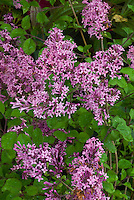 Syringa 'Red Pixie' lilac