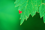A red heart shaped growth on a Mountain Maple leaf in a Montana National Forest