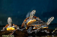 1R13-098z  Painted Turtle - young in pond sunning themselves  - Chrysemys picta