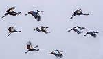 Central Africa , black crowned crane (Balearica pavonina)