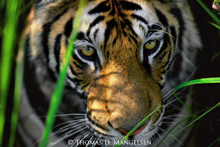 Portrait of a bengal tiger peering out from behind elephant grass in Bandhavgarh National Park, Madhya Pradesh, India.