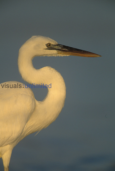 Great White Heron, the white morph or color phase of the Great Blue Heron ,Ardea herodias,, Florida, USA.