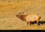 Bull Elk Bugling at Sunrise, Madison River Meadow, Yellowstone National Park, Wyoming