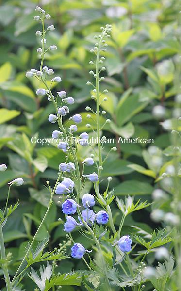LITCHFIELD, CT - 21 JUNE 2008 -062108JW05.jpg -- A Delphinium Centurion Sky Blue blooms at White Flower Farms Nursery Saturday afternoon.  Jonathan Wilcox Republican-American
