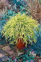 Chamaecyparis pisifera 'Filifera Aurea' aka Golden Mops in pot