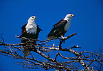 African fish eagles, Lake Bogoria, Kenya