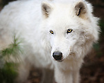 Wolves at the Conservation Center*