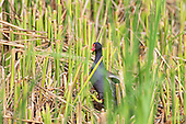Common Moorhen (Gallinula chloropus), foraging through managed reedbed, Omnivorous, feeds while swimming or walking on floating vegetation or land, especially damp Meadows. Habitat, Marsh, reedbed, small lakes. Moorhen is foraging through a managed habitat.