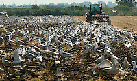 Chatham-Kent, ON. Seagulls take advantage of a free lunch, thanks to a Tecumseh Line (HWY 36) farmer Working his field near Chatham Thursday August 10, 2006<br />