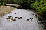 Nine horses and one rider cross a mountain river in a Costa Rican rainforest.