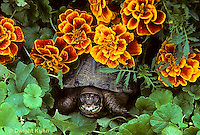 1R07-054z  Eastern Box Turtle - among marigolds - Terrapene carolina