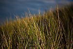 Marram Grass - ammophila - on the sand dunes, Knokke, Flanders, Belgium