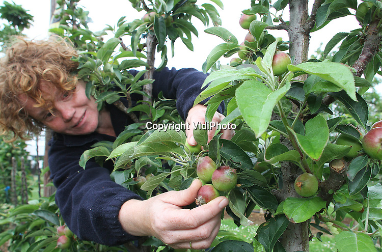 """Foto: VidiPhoto..BAARLO - Bij Boomkwekerij Fleuren in het Limburgse Baarlo is dinsdag begonnen met het zogenoemde """"dunnen"""" van de appels in de minitrees. Door te dunnen krijgen de overgebleven appeltjes meer ruimte, voeding en licht om te kunnen groeien. Minitrees zijn op dit moment niet aan te slepen en razend populair bij Nederlandse consumenten doordat ze ook binnen, op balkons en op daktuinen geplaatst kunnen worden en nauwelijks verzorging nodig hebben. De kleine en makkelijk te plukken fruitboompjes zijn eigenlijk bedoeld voor de fruitteelt, maar de consumentenmarkt is voor bedenker en leverancier Fleuren een onverwachte spinoff en een ongekende groeimarkt.."""