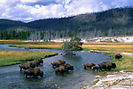 Bison ford the Firehole River in Yellowstone National Park, Wyoming