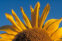 Sunflower against a bright blue sky. Strasburg Pennsylvania USA Lancaster County.
