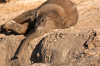 African Elephant young mud bathing (Loxodonta africana), Chobe National Park, Botswana