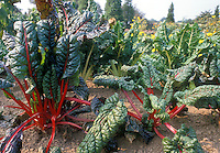 Swiss Chard 'Burpee's Red Rhubarb' growing in vegetable garden