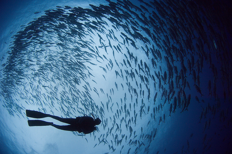 Diver and a large school of bigeye trevally: Caranx sexfasciatus, Lama Shoals, Witu Islands, Kimbe Bay
