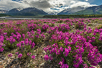 Large field of wild sweet pea in the heart of the Alaska range, just south of the town of Delta Junction, interior, Alaska.