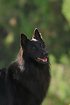 Belgian Sheepdog<br /> <br /> Shopping cart has 3 Tabs:<br /> <br /> 1) Rights-Managed downloads for Commercial Use<br /> <br /> 2) Print sizes from wallet to 20x30<br /> <br /> 3) Merchandise items like T-shirts and refrigerator magnets