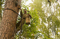 Sabit Galin, perched 8 or 9 meters above the ground, sends smoke into the entrance of the hive before beginning to harvest.