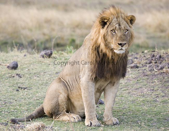 Lion sitting - photo#12