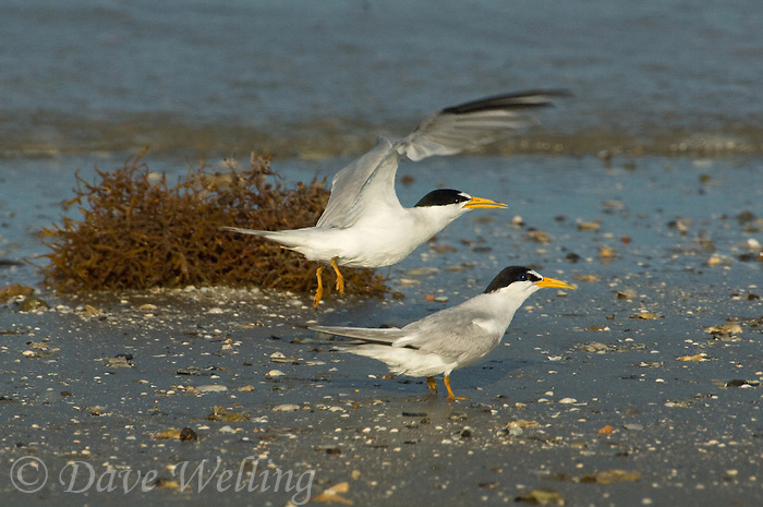 581690006 a breeding pair of endangered wild least terns sterna antillarum on the shoreline with one taking flight on boca chica beach on the south texas coast