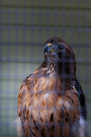 A Red-tailed hawk, photographed through the mesh of its enclosure at the Sulfur Creek Nature Center where injured wildlife are treated and, when possible, returned to the wild.