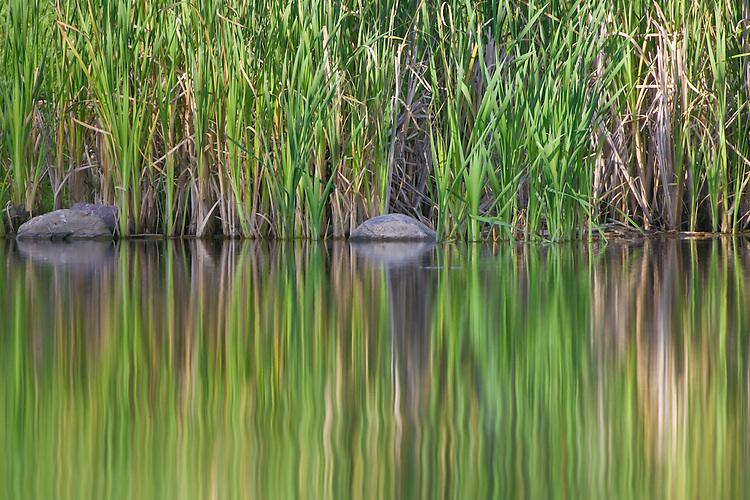 Bullrush and reflexion abstract at Elk Island National Park, Alberta, Canada
