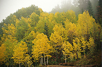 fall aspen in fog