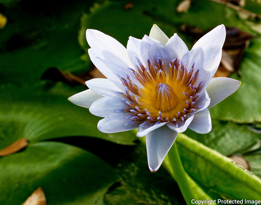 White Water Lily Flower, Fairchild Tropical Botanic Gardens, Lily Pads, Miami Nature<br />