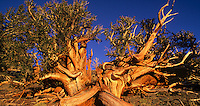 920000013 panoramic view of bristlecone pines pinus longeava in late sunset light above 9,000 feet in the white mountains of central california