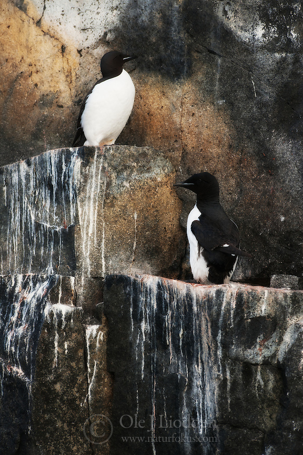 Brunnich's Guillemot (Uria lomvia) in Svalbard