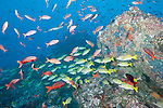 Cocos Island, Costa Rica; an aggregation of Blue and Gold Snapper (Lutjanus viridis) and Pacific Creolefish (Paranthias colonus) swimming over the rocky reef