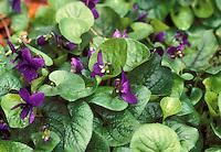 Viola odorata 'Czar' violets, common violets, nativar