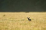 Sttenbok ram standing in a farm field at dawn, Overberg, Western Cape, South Africa
