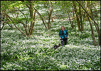 BNPS.co.uk (01202)558833<br /> Pic: PhilYeomans/BNPS<br /> <br /> A stunning show of wild garlic has made this Dorset woodland look like a snow covered forest.<br /> <br /> Dog walkers in Garston wood near Cranborne have been blessed with a carpet of sweet smelling white blooms that traditionally follow on from the blubells in this RSPB reserve.