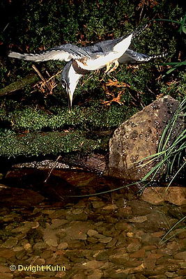 KG03-003x  Belted Kingfisher - diving for fish in stream - Megaceryle alcyon