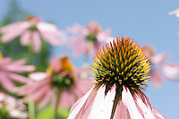 Purple cone flowers (Echinacea) bloom in a residential flower garden on Three Mile Pond Rd. in Vassalboro, Maine.<br /> <br /> &copy; Michael Forster Rothbart<br /> www.mfrphoto.com <br /> 607-267-4893 o 607-432-5984<br /> 5 Draper St, Oneonta, NY 13820<br /> 86 Three Mile Pond Rd, Vassalboro, ME 04989<br /> info@mfrphoto.com<br /> Photo by: Michael Forster Rothbart<br /> Date: 8/2006    File#:  Canon 20D digital camera frame 4534