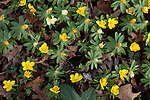 February 2, 2012. Hillsborough, NC.. Yellow aconites..  Nancy Goodwin, who used to run a mail order nursery for rare bulbs, has now preserved her gardens, which in winter, have thousands of blooming flowers and plants, including many rare species which she has cultivated and planted from seeds.