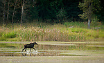 Yearling moose running through the wetlands at KNWR