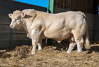 Charolais bull
