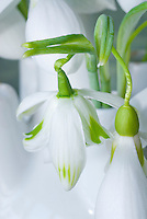 Galanthus 'Trym' snowdrops bulbs flowers in vase picked
