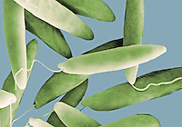 Euglena protozoans have a single flagellum used for locomotion. Euglena possess chloroplasts utilized in photosynthesis.  SEM X2,800  **On Page Credit Required**