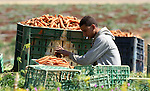 A Palestinian farmer harvests a carrot crop, in Tammun village, near the West Bank town of Tubas, on April 30, 2015. The war between Israel and Gaza in the summer of 2014 drove the Palestinian economy of Gaza and the West Bank into its first contraction since 2006, the International Monetary Fund said in January 2015. The turmoil has left unemployment very high in both areas, 19 percent in the West Bank and 41 percent in Gaza. Photo by Nedal Eshtayah