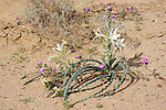 Ajo Lily .Hesperocallis undulata.Tacna, Arizona, United States.6 March       Asparagaceae      Also known as Desert Lily.    Formerly placed in the Liliaceae.