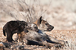 Spotted hyena, Crocuta crocuta, mother with cub, Kgalagadi Transfrontier Park, Northern Cape, South Africa